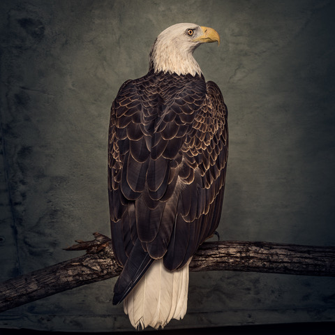 winters_bald_eagle_3000x3000